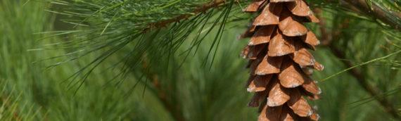 Eastern White Pine ( Pinus strobus)
