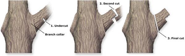 proper tree pruning cut