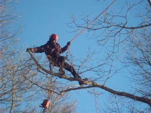 Cape Cod tree pruning