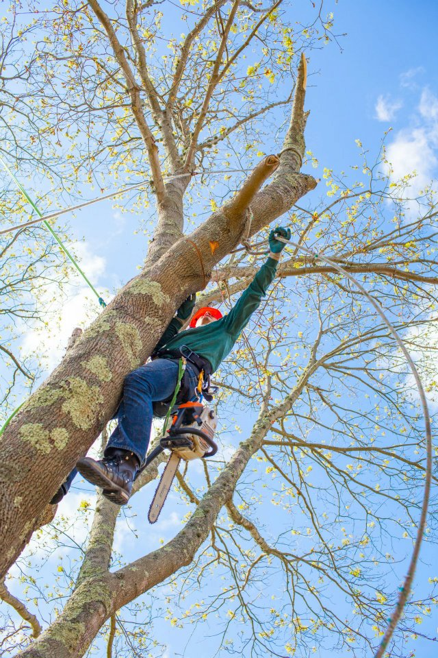 Setting a line for tree limb removal