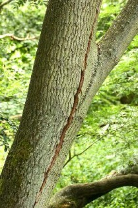 Cracked limbs should be removed from tree