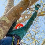 tree pruning service on Cape Cod