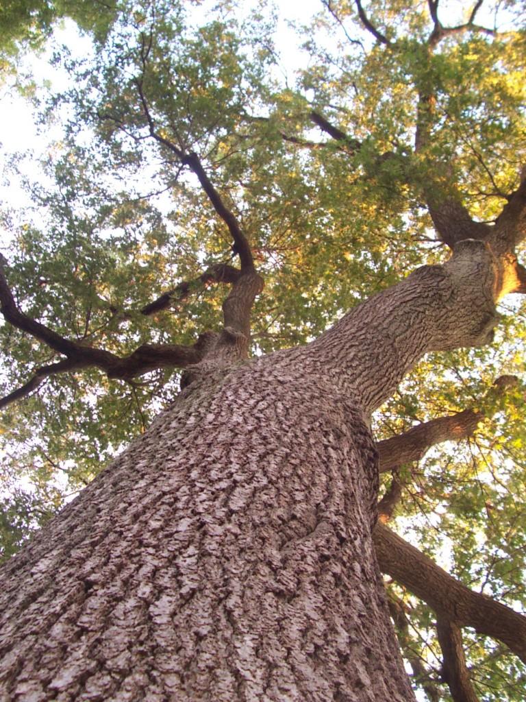 Oak tree on Cape Cod