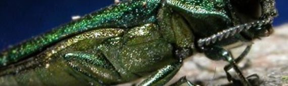 Emerald Ash Borer in Massachusetts