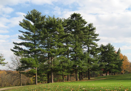 Stand of young White Pine trees