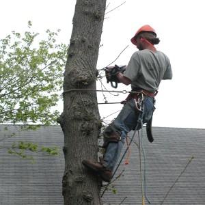 Tree cutting on cape cod