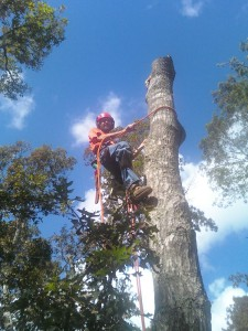 Harwich tree service taking a tree daown